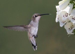 Hummingbird Marketing Services Pricing: Foxglove