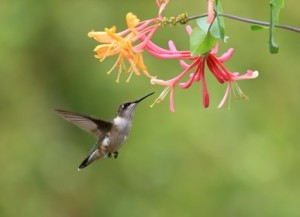 Hummingbird Marketing Services Pricing: Honeysuckle