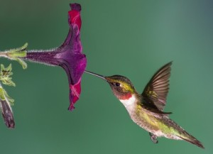 Hummingbird Marketing Services Pricing: Petunia